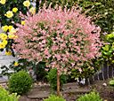 Cottage Farms Pink Princess Willow Tree — QVC.com