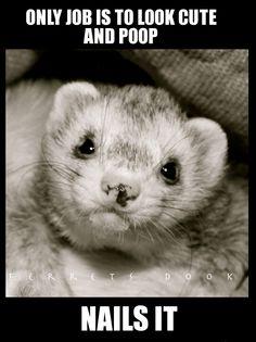 #ferrets #cute #animals #ferret #funny #for kids #forever #awesome #home #love  https://www.facebook.com/YourEverydayFerretFerretsDook