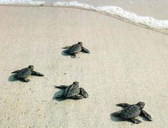 Small newborn turtles on their way to the ocean in Menfi. #nature #sicily