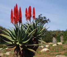 Aloes. South Africa