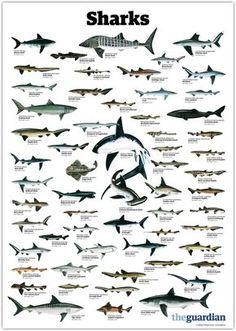 trynottodrown: a few different shark species (full size)
