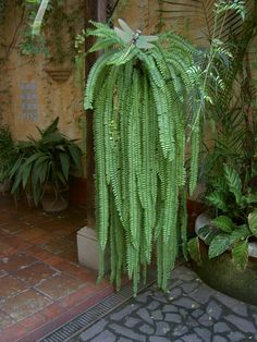 This is what a fishbone fern could look like!