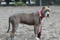Puma~ <3 Pit Bull Terrier Mix • Adult • Female. Santa Barbara County Animal Services, CA. Calm, loving 67 lb, 8 yr old who is alert & ready to go. Already knows sit & walks okay on leash.  Spayed • Shots Current.