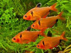 Serpae Tetras (Fresh water fish)