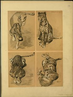 Panthère - ID: 102326 - NYPL Digital Gallery