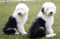 old english sheepdog photo | Old English Sheepdog2