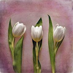 '3' von joshi bei artflakes.com als Poster oder Kunstdruck $16.63 #Fotografie #closeup #nah #Makro #Makrofotografie #Blüte #Blumen #Flower #flowers #nature #Natur #Naturliebhaber #naturelovers #detail #Schönheit #Textur #Photoshop #dekorativ #fineart #Tulpen #frühlingshaft