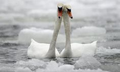 Icy Love Kyhmyjoutsen-pariskunta (mute swan) in Lauttasaari Helsinki  photo credit mtv3