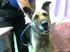4/29/17PAST DUE4/19/17 DEVORE, CA. EMERSON - ++NEEDS SHARES!!++ ID #A670105 (available 4/22) I am a male, black and tan German Shepherd Dog. The shelter staff think I am about 8 years old.... See More — with Kasia Parker, Eileen Theisen, Kathy Smith and 36 others at Devore Shelter at 19777 Shelter Way, Devore, CA 92407 in San Bernardino County, CA 92407: (909) 386-9820, ext 0.