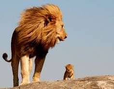 This is a father and son lion. It makes me giggle. It makes me happy for my own protective father I know my husband can't wait for a babeh lion cub. Hehehe! 1/19/2012