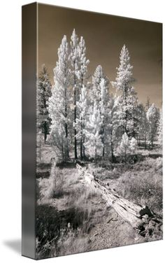 """""""Bryce Canyon Infrared Trees"""" by Mike Irwin, Dallas // Infrared photo of trees taken in Bryce Canyon, Utah by Mike Irwin // Imagekind.com -- Buy stunning fine art prints, framed prints and canvas prints directly from independent working artists and photographers."""