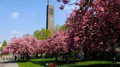 ღღ Die japanischen Kirschen blühen auf dem Hohenzollernplatz in Berlin ~ Cherry Blossoms on Hohernzollernplatz in Berlin Wilmersdorf
