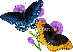 Butterfly Drawings in Color | Full color illustration of a pair of Diana Fritillary Butterflies ...