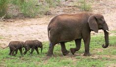 Look At These Extremely Rare Twin Elephant Babies That Were Just Born