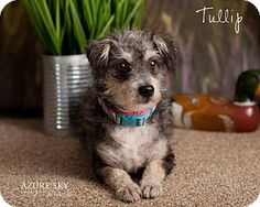 Tullip is a 2yr old female Cairn Terrier mix that came to us from the Yuma Humane Society. She is low shed and weighs in at 12lbs. She is a little shy but warms up quickly. She is good with other dogs and enjoys another dogs company. Cats unknown. She might be good with kids if they give her patience and understand she is shy at first. Tullip loves to be talked to, loves to play with other dogs, likes toys.