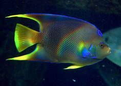#Angelfish #Georgia #Aquarium @georgia lin. lin. lin. lin. lin. lin. lin. lin. Aquarium