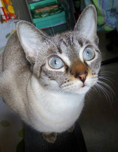 This is venus the cat that saw the light - http://cutecatshq.com/cats/this-is-venus-the-cat-that-saw-the-light/