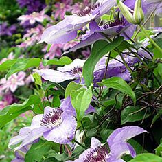 New to clematis? Learn everything you need to grow this flowering vine. Gardener's Supply