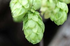 Most people don't know that the Humulus Lupulus (Hops) plant in the correct strain and amount, is changing how we treat migraine pain. White Flower Png, Hops Plant, Beer Hops, Cannabis News, Beer Recipes, Hemp Seeds, Hemp Oil, Home Brewing, Vegetable Gardening