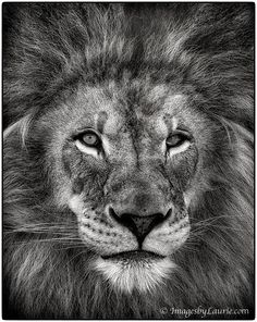 The Mighty Lion by Laurie Rubin on 500px