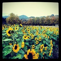 Sunflower field at Avila Valley Barn - San Luis Obispo #sunflowers #field #sunny #slolife #slo #fieldsofgold #avilavalley #sanluisobispo #california #explore #wanderlust  #wander #justforfun