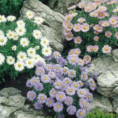 Aster Alpinus Collection (Michaelmas daisies)