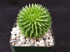"""Euphorbia Suzzanae (This plant comes in a 2 3/4"""" pot. You will receive a very similar plant to the one on the picture. It may or may not be blooming at the time of your purchase. This plant is shipped"""