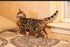 Here you will find your favorite Bengal kittens for sale in PA. We have been in this industry for many years providing different types of Bengals kittens to our valued clients. #BengalKitten #BestBengalKitten #BuyKitten Buy A Kitten, Kitten For Sale, Bengal Kittens For Sale, Bengal Cats, Event Security, Cattery, New Girl, Exotic, Vibrant
