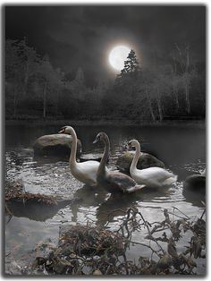 Moonlight Swim, Swan Pond, West Virginia – Amazing Pictures - Amazing Travel Pictures with Maps for All Around the World Beautiful Moon, Beautiful Birds, Beautiful Pictures, Shoot The Moon, Moon Magic, Moon Art, Outdoor Life, Stars And Moon, Belle Photo