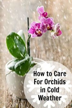 Gardening Indoor How to Care for Orchids in Cold Weather - The Ambius Plant Doctor shares cold weather orchid care tips for plant lovers to keep their orchids blooming and looking their best. Indoor Orchids, Orchids Garden, Garden Plants, Indoor Plants, House Plants, Potted Plants, Indoor Gardening, Air Plants, Gardening Tips