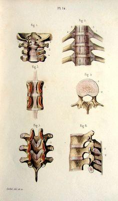 1852 vintage print of vertebrae  antique by LyraNebulaPrints, $25.95