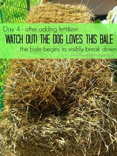 Day 4 Straw Bale Conditioning - the dog buried her face in the bale. It has sarted to break down | PreparednessMama