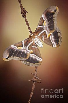 Ailanthus silkmoth