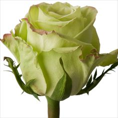 Roses - Green Tea - 100 Stems - Sam's Club $116.98