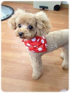 The many things we all admire about the Poodle Pup Maltipoo Haircuts, Dog Haircuts, Dog Grooming Styles, Poodle Grooming, Small Poodle, Pink Poodle, Poodle Haircut Styles, Puppy Haircut, Poodle Cuts