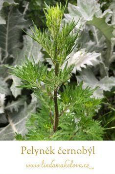Korn, Parsley, Herbs, Herb, Medicinal Plants