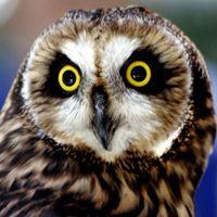 Hawaiian Short-Eared Owl   Pueo