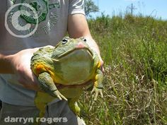 Amazing Are-Ban: Facts about Bullfrog