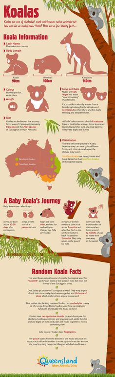 Queensland is one of two states in Australia where you can cuddle a koala. Check out the koala infographic for more koality facts. The only thing that really matters here is that Koalas do not live near me and I am now sad. Australia Day, Australia Travel, Australia Facts, Koala Baby, Baby Otters, The Wombats, Australian Animals, Thinking Day, Animal Facts