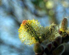 The Offering Dandelion, Flowers, Plants, Photos, Pictures, Dandelions, Plant, Taraxacum Officinale, Royal Icing Flowers