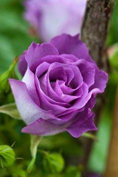 Light Purple rose | Flowers. Pretty, Beautiful, Lovely flowers Everyday.. It's amazing.