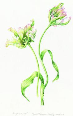 http://www.museumboerhaave.nl/media/uploads/medialibrary/2012/09/Janneke_Tulipa_Green_Wave.jpg