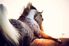 Arabian horses :: Gallery :: visel