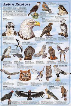 Avian Raptors Birds Of Prey Educational Science Chart Poster 24 x Raptor Bird Of Prey, Birds Of Prey, Beautiful Birds, Animals Beautiful, Bird Identification, Bird Poster, Backyard Birds, Bird Drawings, Fauna