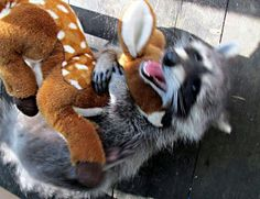 Raccoon playing with stuffed animal!:-)