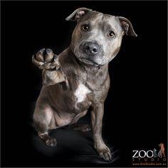 Pudding Staffordshire Terrier | Pawshake
