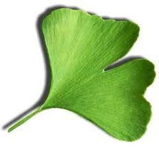 Circulation increase longer life from and prolonged consumption of Ginkgo biloba tea can relieve Reynaud disease