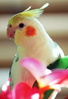 Cockatiel - I love their cheeks and whistles!