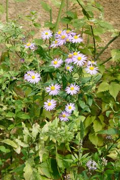 ノコンギク Aster ageratoides var. ovatus (野紺菊 別名:野菊) 夏緑性 多年草 日本原産 花期: 7-10月頃(紫,ピンク) 草丈:30~100cm 日照: 日なた~半日陰 地下に細長い地下茎を多数伸ばしてふえていく。日本に自生する植物なので、気候によく合い育てやすい。枝分かれさせて花数をふやすために、5月から6月に1/3~1/2ほどに切戻すと良い。