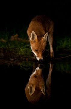 fox drinking at night, reflection by StarMeKitten